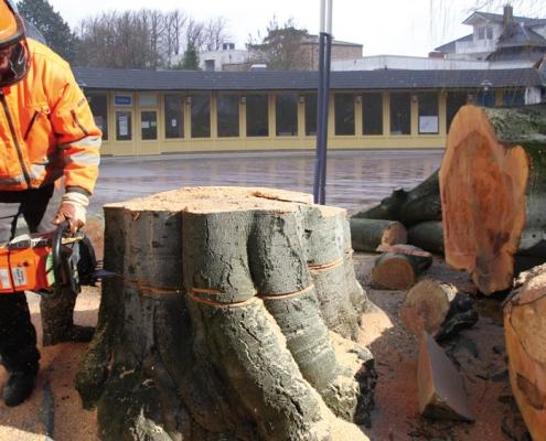 Ein Mammutbaum wir gefällt